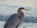 p181821-Great_Blue_Heron