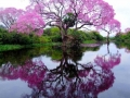 piuva-tree-brazil-photograph