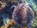 li-newton-Hawksbill Turtle Rising