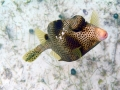 li-newtonSpotted Trunkfish